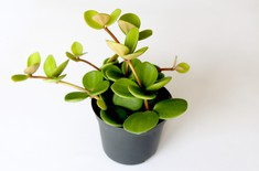Main pic medium peperomia 2