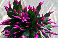 Main pic medium kwitn cy kaktus