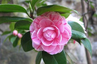 Main pic news camellia 775873 1920