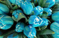 Main pic medium niebieski tulipan