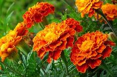 Main pic medium marigold 4403956 1920