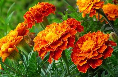 Main pic news marigold 4403956 1920